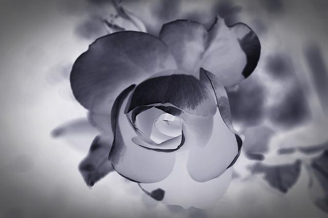 Цвет утраты как эта роза картинка